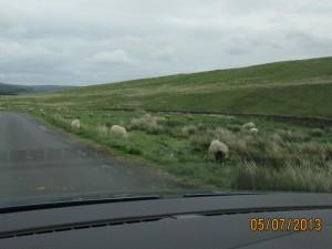 lambs free to roam